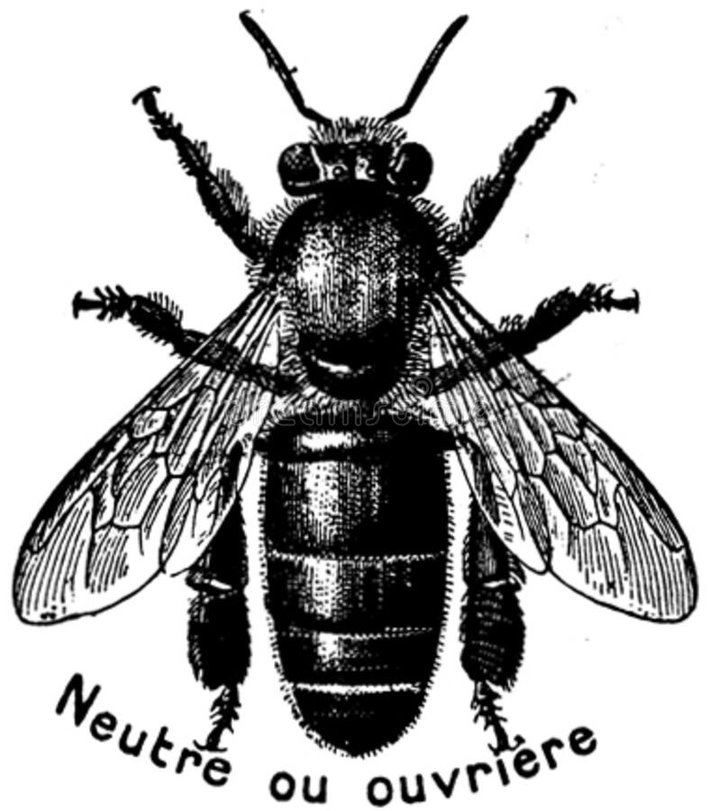 Abeille-ouvriere-oa Free Public Domain Cc0 Image