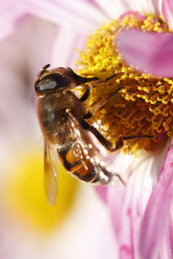 Abeille pendant la pollinisation photos libres de droits