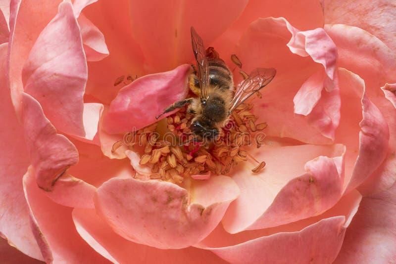 Abeille pollinisant sur les stamens d'une rose Haut ?troit de d?tail Macro photographie images stock