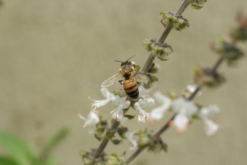 Abeille pollinisant une fleur blanche photo libre de droits