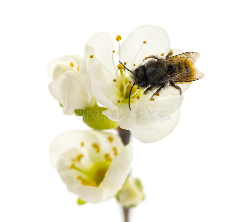 Abeille pollinisant une fleur - mellifera d'api photos stock