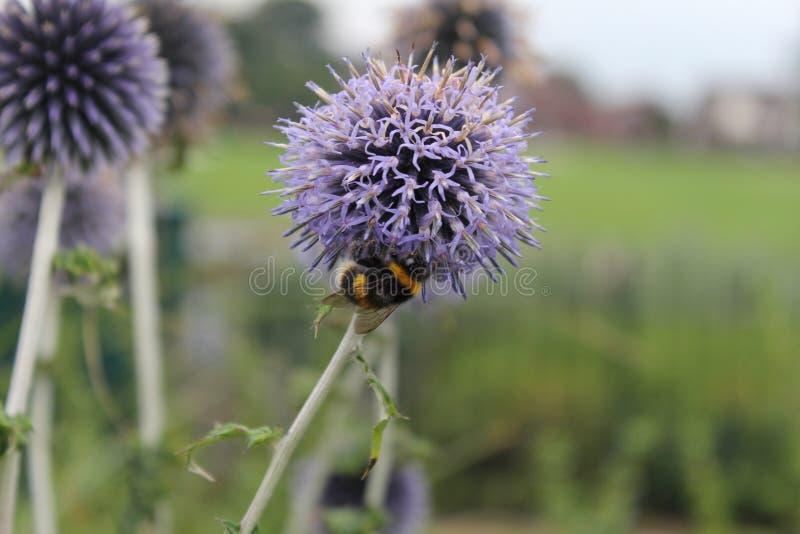 Abeille rassemblant le pollen sur l'allium image stock