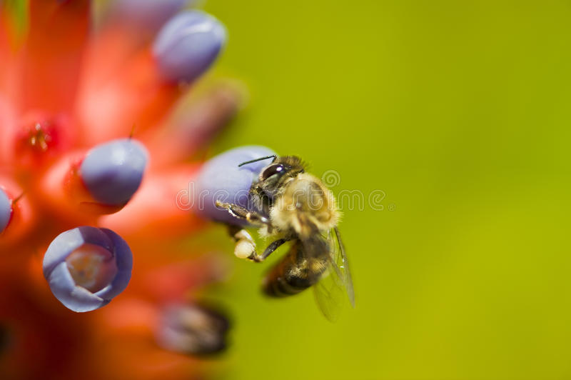 Abeille recherchant le nectar photographie stock libre de droits