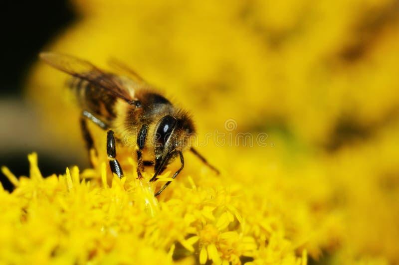 Abeille recueillant le miel sur les fleurs jaunes image libre de droits