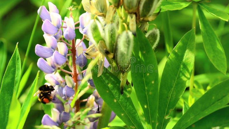 Abeille recueillant le nectar d'une fleur photographie stock libre de droits