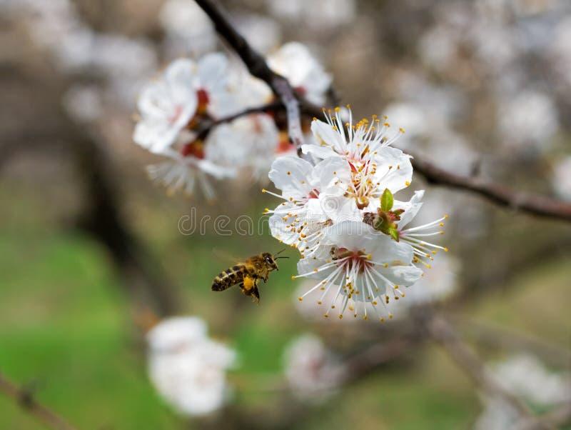 Abeille recueillant le nectar dans un jardin images libres de droits