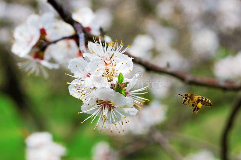 Abeille recueillant le nectar dans un jardin image libre de droits