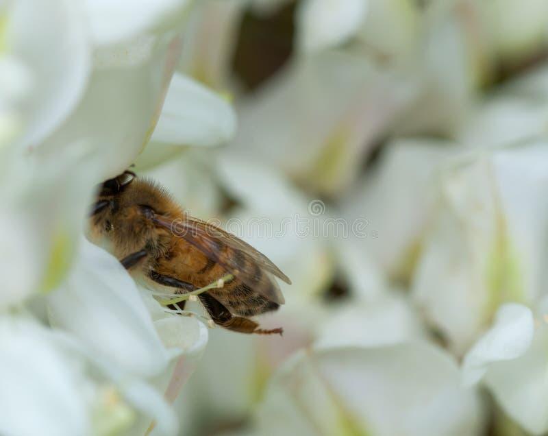 Abeille recueillant le nectar sur la fleur blanche d'acacia photos stock