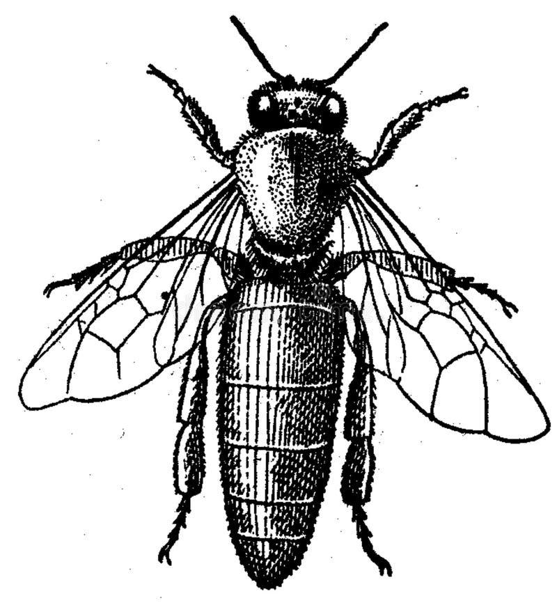 Abeille-reine Free Public Domain Cc0 Image