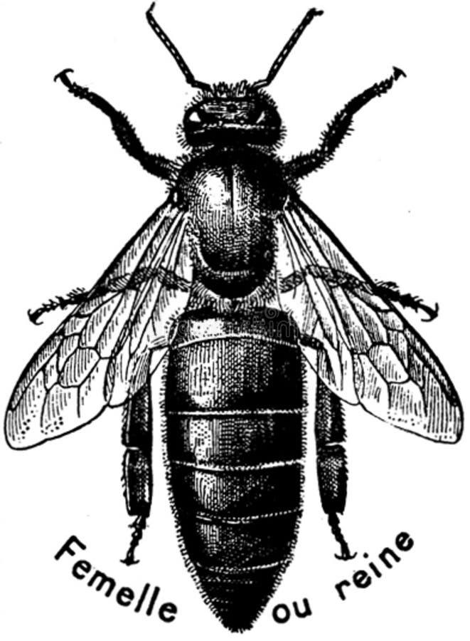 Abeille-reine-oa Free Public Domain Cc0 Image