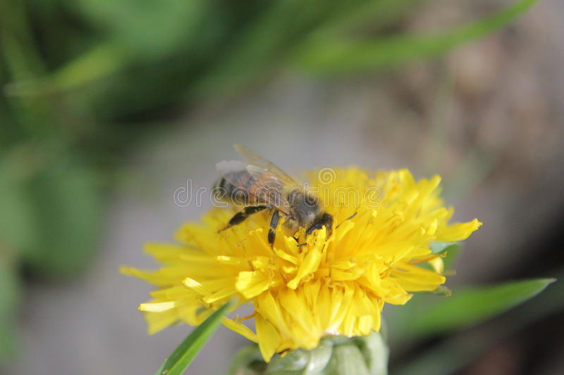 ABEILLE SAUVAGE photo stock