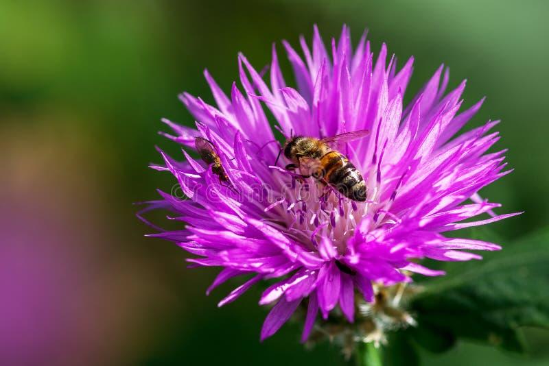 Abeille se reposant sur la fin de fleur d'été  Macro d'insecte images libres de droits