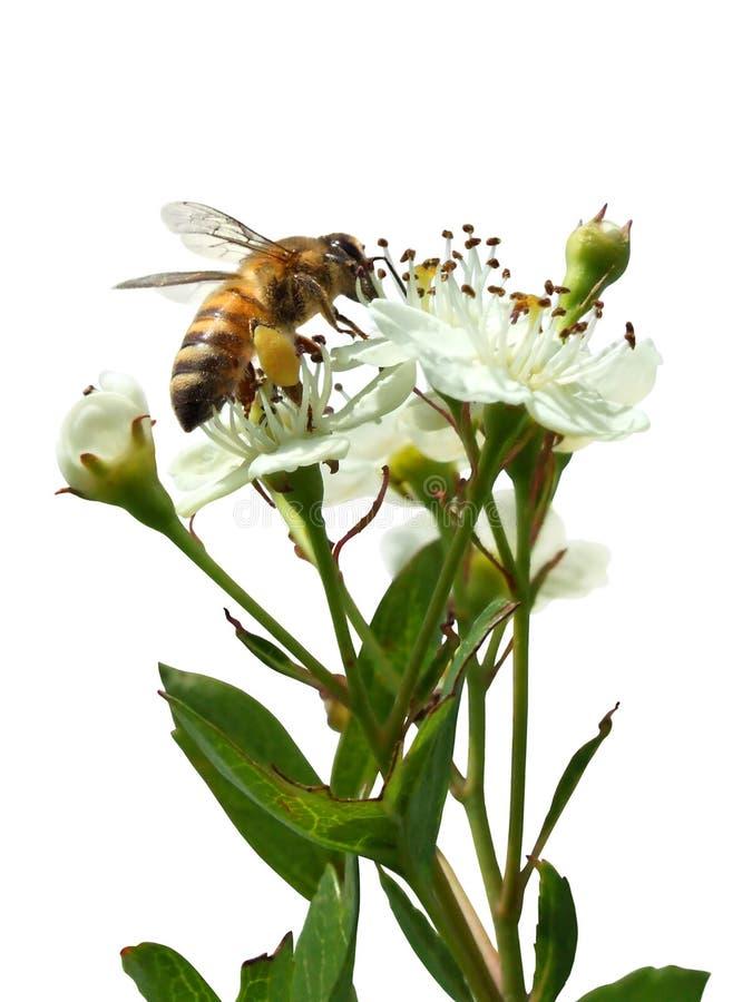 Abeille se reposant sur une fleur blanche d'isolement sur le blanc photos libres de droits