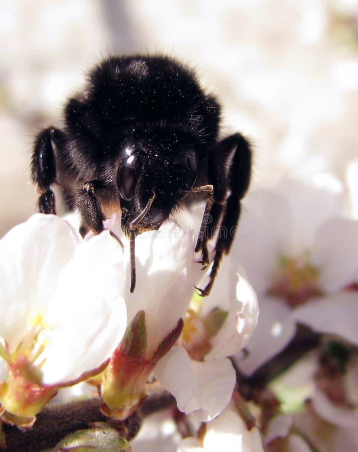 Abeille se reposant sur une fleur photos stock