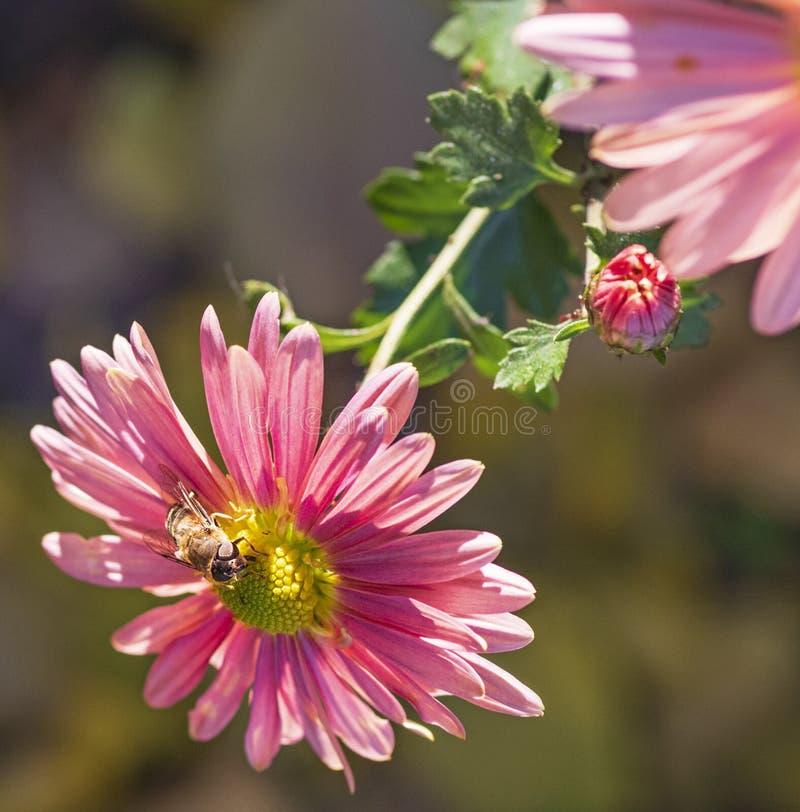 abeille se reposant sur une fleur rose images libres de droits