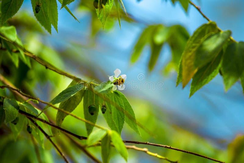Abeille suçant le miel Flower photos stock
