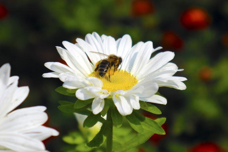 Abeille sur chamomile photo libre de droits