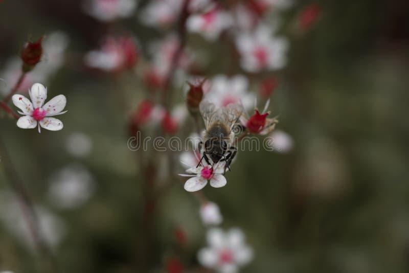 Download Abeille Sur De Petites Fleurs Roses En Gros Plan Photo stock - Image du fond, detail: 76076964