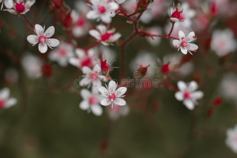Download Abeille Sur De Petites Fleurs Roses En Gros Plan Image stock - Image du pollen, centrale: 76077071
