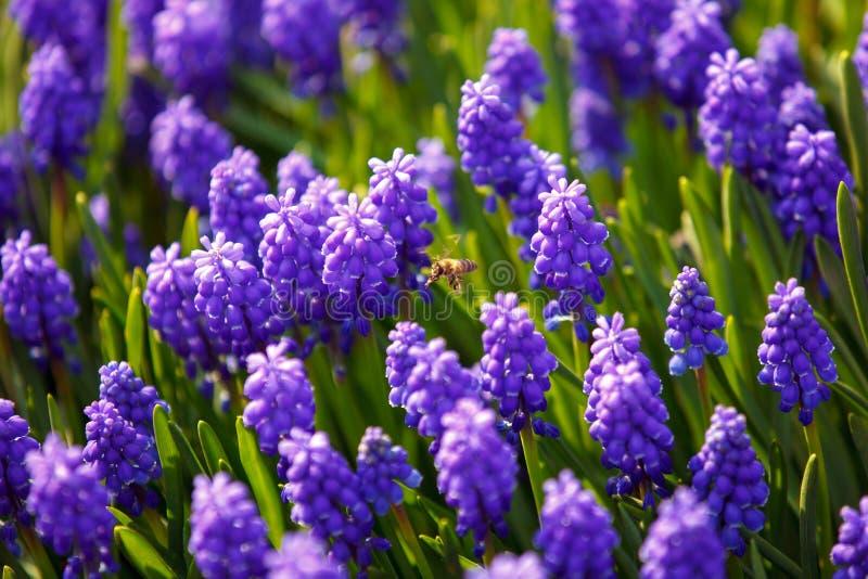Abeille sur des fleurs de muscari images stock