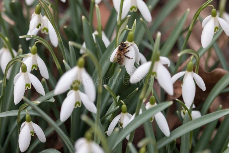 Abeille sur la belle fleur blanche de perce-neige image libre de droits