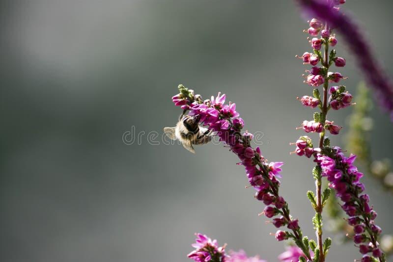 Abeille sur la bruyère violette photographie stock libre de droits
