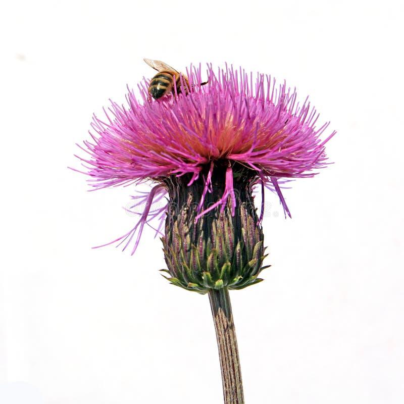 Abeille sur la fleur photo stock