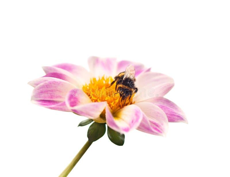 Abeille sur la fleur images libres de droits
