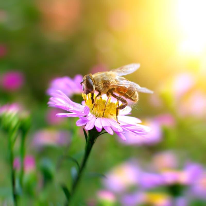 Download Abeille sur la fleur image stock. Image du bourdonnement - 45367489