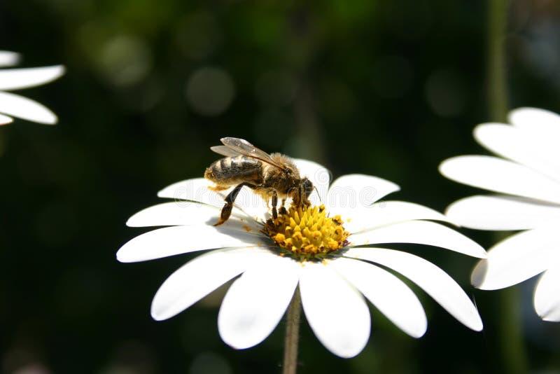 Download Abeille sur la fleur photo stock. Image du pollen, travail - 83300
