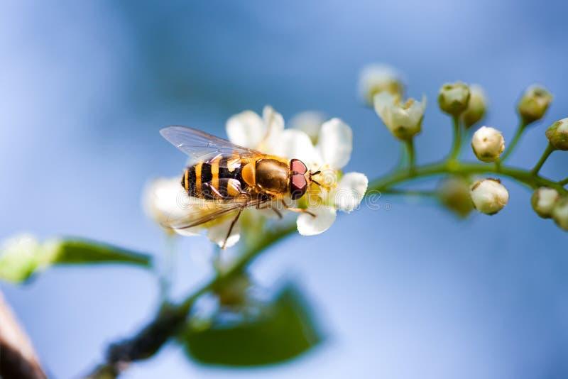 Abeille sur la fleur blanche photos libres de droits