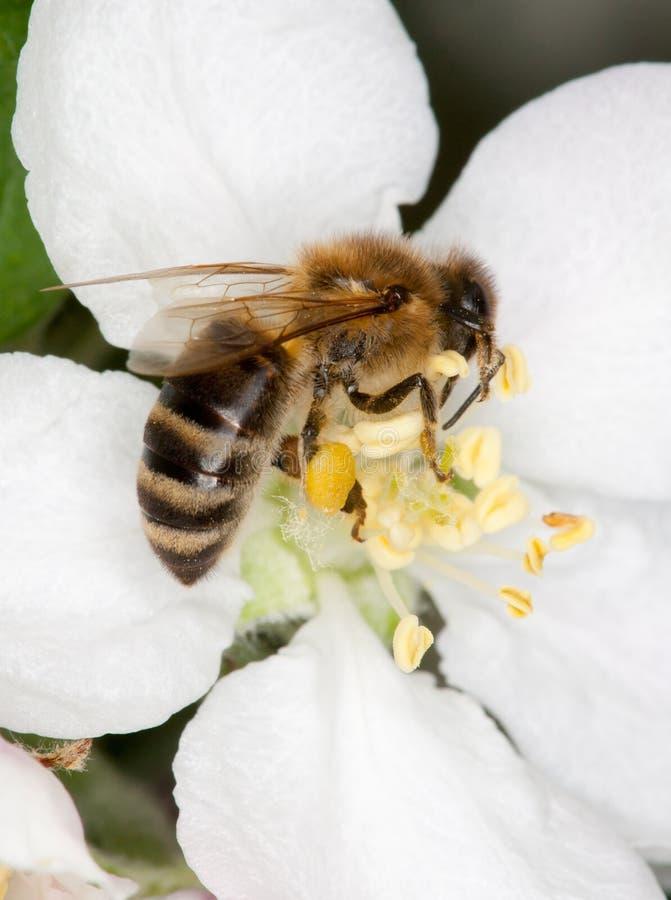 Abeille sur la fleur blanche photos stock