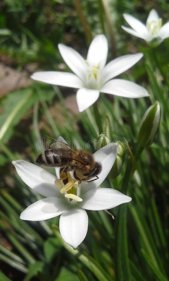 Abeille sur la fleur blanche images stock