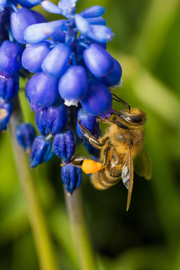 Abeille sur la fleur bleue images stock