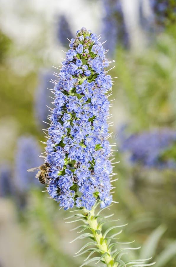 Abeille sur la fleur : candicans d'echium (fierté de la Madère photos stock