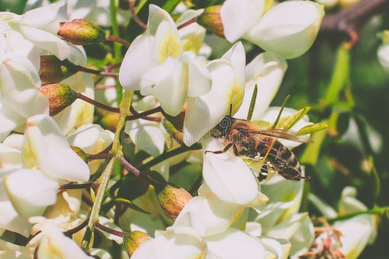Abeille sur la fleur d'acacia photos libres de droits
