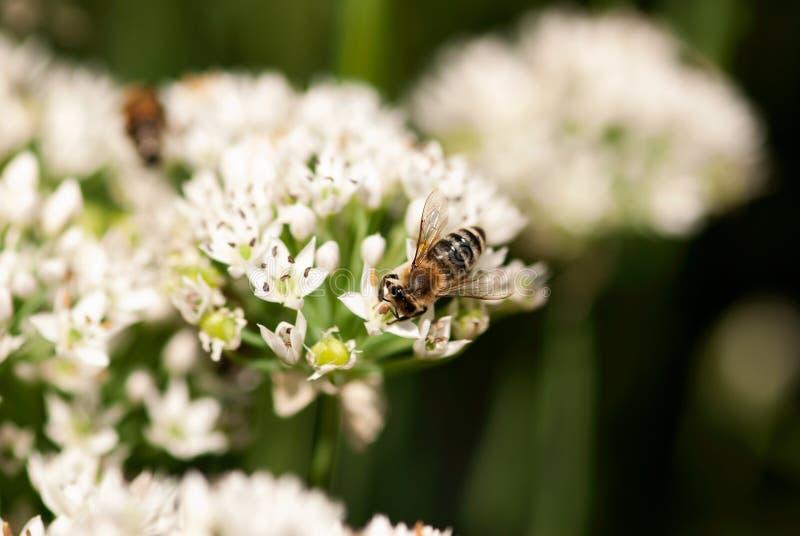 Abeille sur la fleur d'allium photographie stock