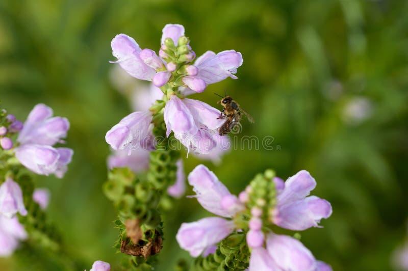 Abeille sur la fleur dans le jardin photographie stock