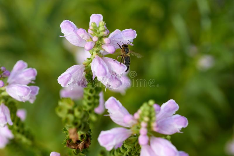 Abeille sur la fleur dans le jardin image stock