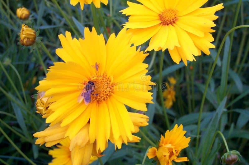 Abeille sur la fleur jaune photo libre de droits