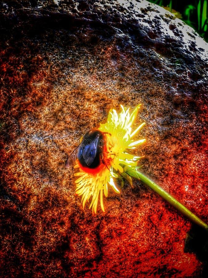 Abeille sur la fleur, jaune, brun photos stock