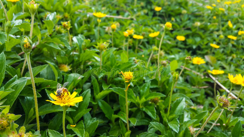 Abeille sur la fleur jaune dans le jardin photo stock