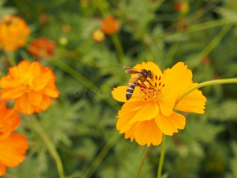 Abeille sur la fleur orange photos libres de droits