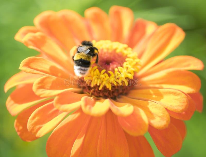 Abeille sur la fleur orange photographie stock libre de droits