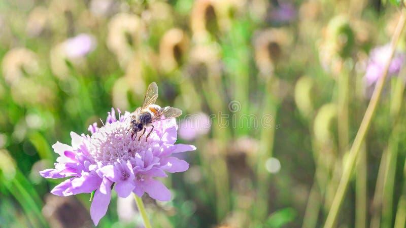 Abeille sur la fleur pourpre avec la lumière du soleil photographie stock