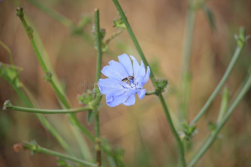 Abeille sur la fleur sauvage blanche photographie stock libre de droits