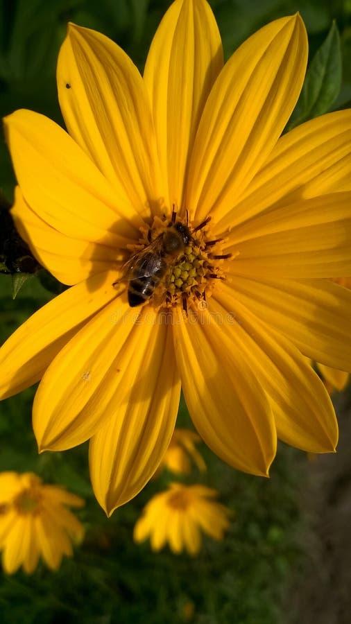 Abeille sur la fleur sauvage jaune image stock