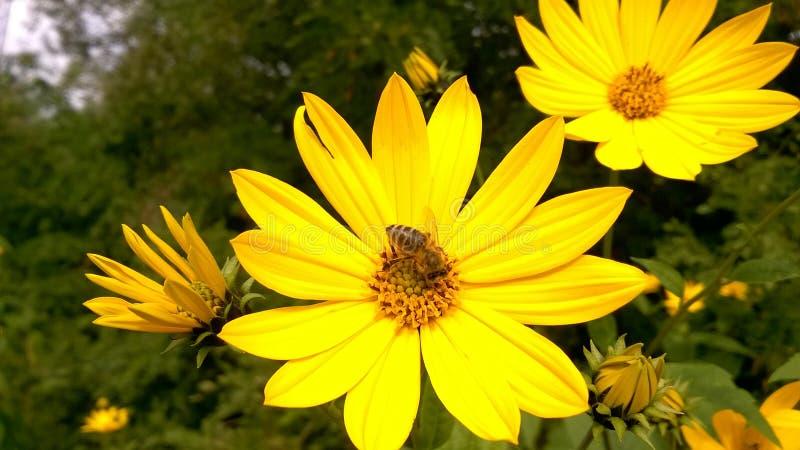 Abeille sur la fleur sauvage jaune photo stock