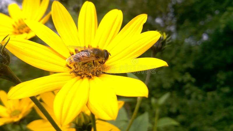 Abeille sur la fleur sauvage jaune photos stock