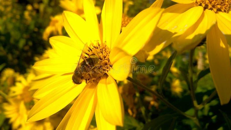 Abeille sur la fleur sauvage jaune photos libres de droits